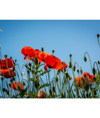 Countryside Path Poppies  16x12 Print