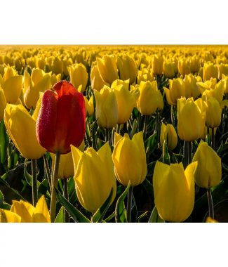 Norfolk Spring Tulip Red & Yellow Field Canvas 20mm Frame