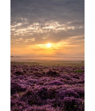 Roydon Common Heather Sunrise