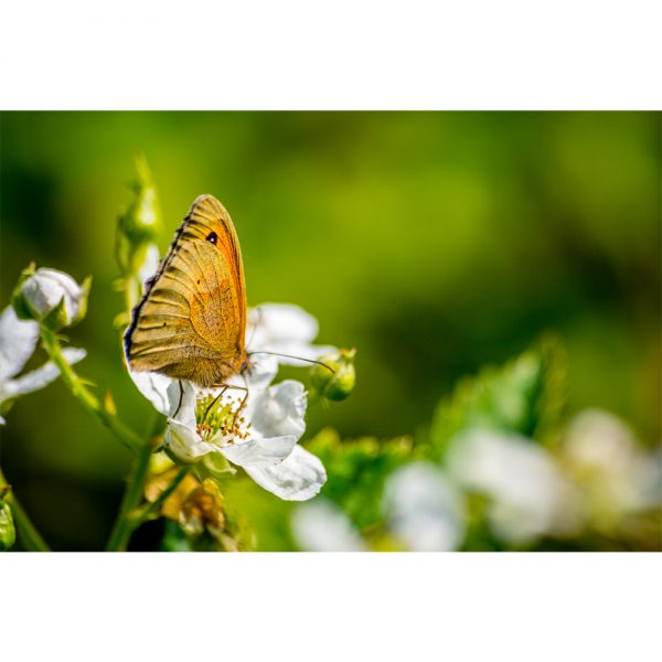 Hoe Rough Resting Butterfly 16x12 Print