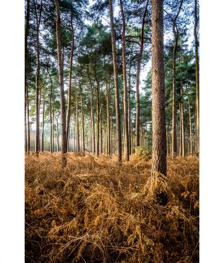 Thetford Forest at Autumn  Canvas 20mm Frame