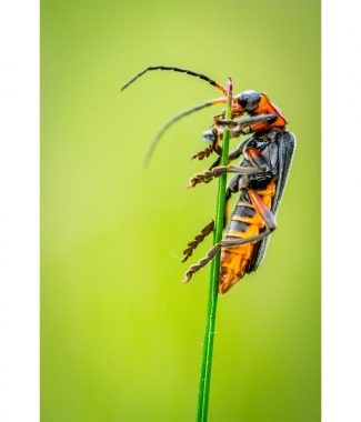 Climbing Soldier Beetle  Greetings Card