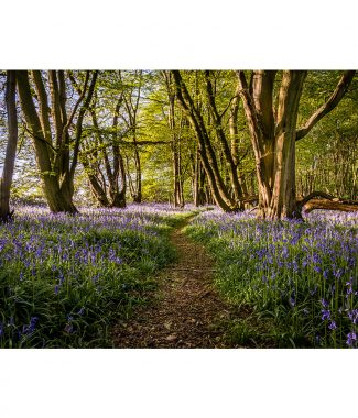 Wayland Wood Bluebell Carpet Canvas 38mm Frame