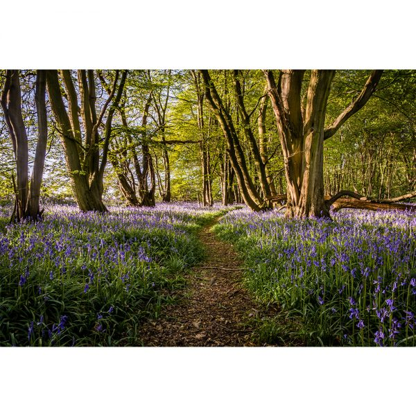 Wayland Wood Bluebell Carpet Poster