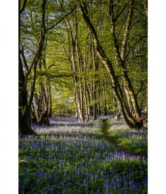Carpet Of Bluebells In Wayland Wood 16x12 Print