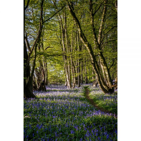 Carpet Of Bluebells In Wayland Wood Poster