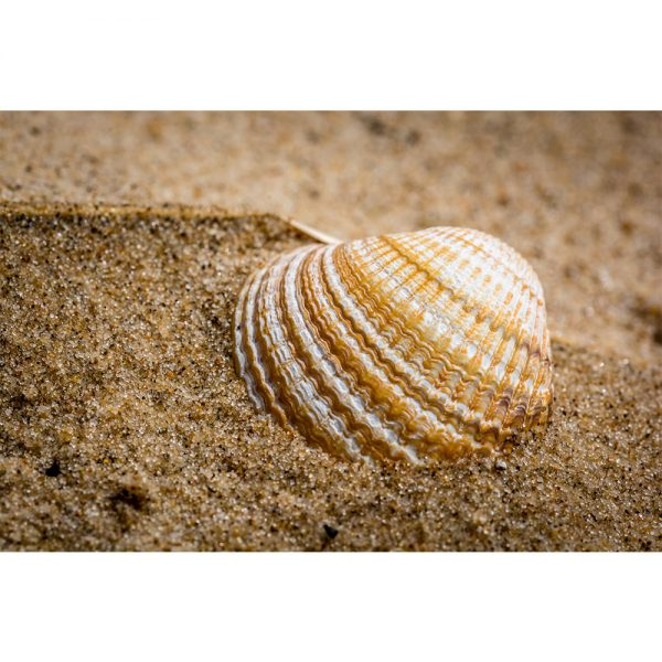 Shell On Wells Beach