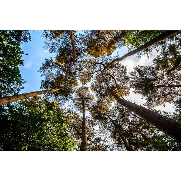 Thetford Forest Pine Trees  Greetings Card