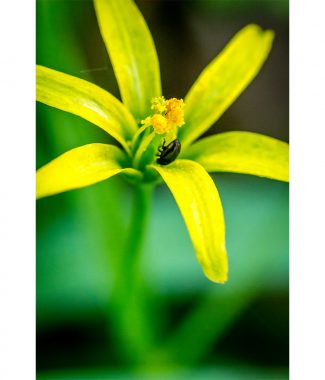 Yellow Star Of Bethlehem Spring Flower & Insect Canvas 20mm Frame