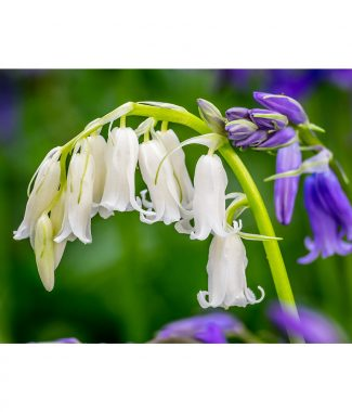 Whitebells In Wayland Wood Poster