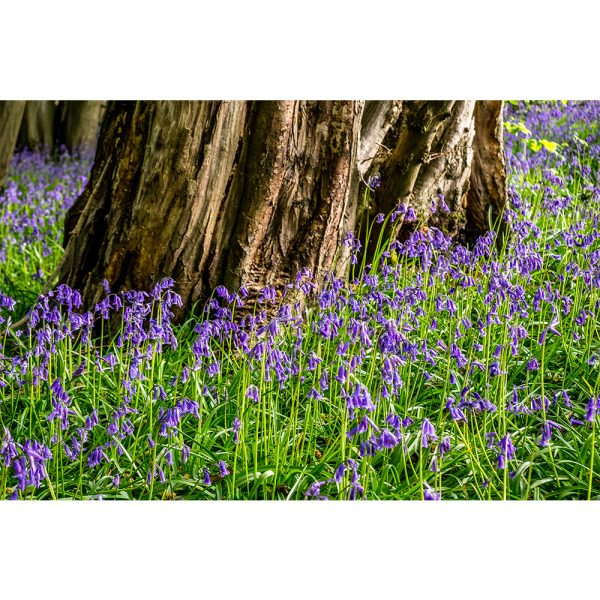 Wayland Wood Bluebells Round Tree Trunk Greetings Card