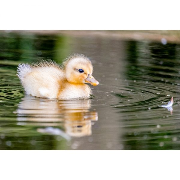Cute Swimming Baby Duck 16x12 Print