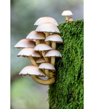 Thompson Common Sulphur Tuft Fungi Canvas 38mm Frame - Large