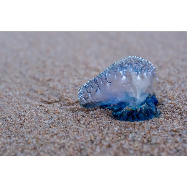 Bluebottle Jelly Fish Mozambique Acrylic Prism