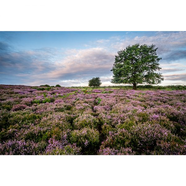 Carpet Of Heather At Roydon Common Poster