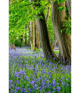 Wayland Wood Bluebell View Poster