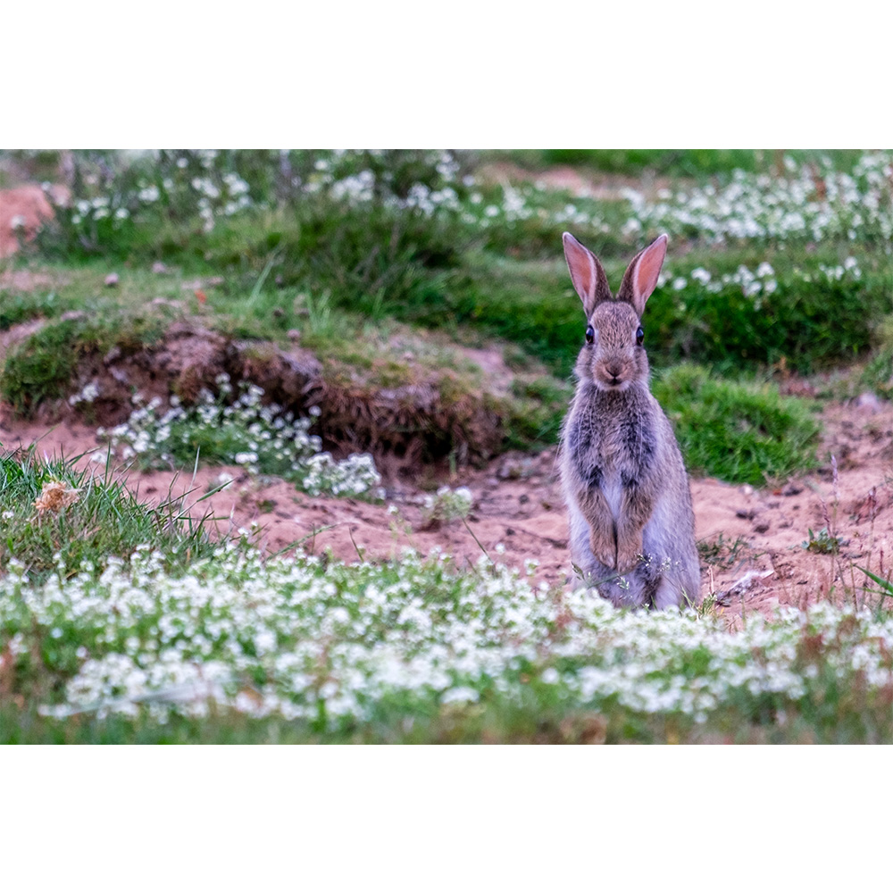 Wretham Heath Sitting Wild Hare Large Poster